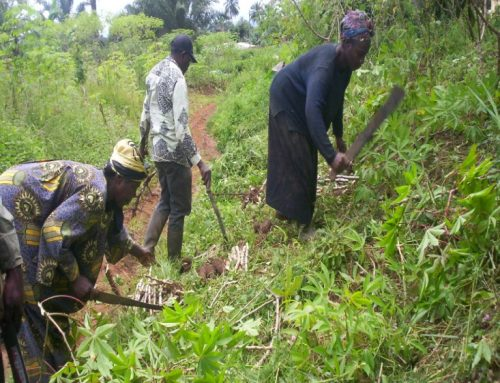 Planting and processing of cassava